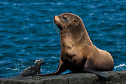 Galapagos Fur Seal (Arctocephalus galapagoensis) & Marine Iguana (Amblyrhynchus cristatus) Cabo Douglas, Fernandina Island.<br /> GALAPAGOS ISLANDS<br /> ECUADOR.  South America<br /> These are the smallest of the world's 7 species of fur seals with males only reaching 65-80kg's. They are found mostly in the upwelling zones  in the west of the archipelago. They are usually quite solitary and avoid body contact with other fur seals, preferring to be in the shady lava crevices. They are nocturnal feeders and thus have very large eyes and good nocturnal vision. <br /> ENDEMIC TO GALAPAGOS.