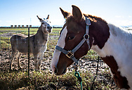 Donkey and horse across from a fracking industy site in the Permain Basin in Texas.