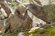 A young juvenile kea parrot fluffs out and relaxes while an adult kea scratches its itch.   This rather social parrot is the world's only alpine parrot, existing only in New Zealand.