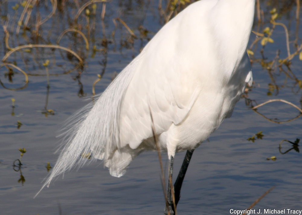The torso and tail feathers of a great egret