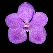 Vanda Hybrid orchid