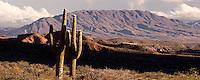 VALLES CALCHAQUIES, CARDON (Trichocereus sp.) EN LOS ALREDEDORES DE LA POMA, PROV. DE SALTA, ARGENTINA