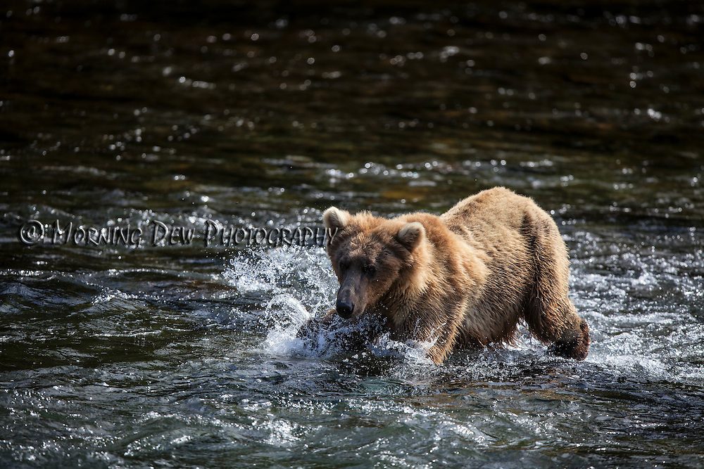 An Alaskan brown bear chases after salmon in Brooks River.