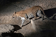 Indian leopard (Panthera pardus fusca) from Jawai, Rajasthan, India.