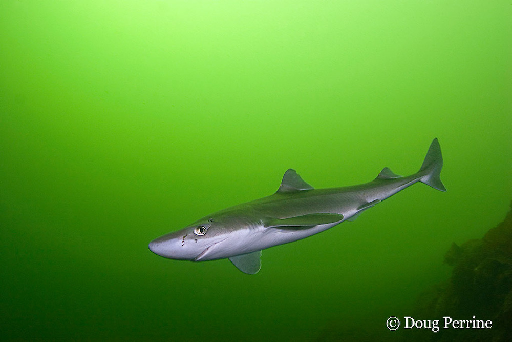 spiny dogfish, piked dogfish, spurdog, or dog shark, Squalus suckleyi (formerly Squalus acanthias ), Tahsis Inlet, Vancouver Island, British Columbia, Canada, ( North Pacific Ocean )