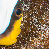 Saddleback Anemonefish, Amphiprion polymnus, tending to its eggs, Mabul Island, Sabah, Malaysia, Borneo.