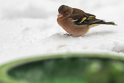 23-01-2019 NED: Birdwatch around your garden, Maarssen<br /> Vink (Fringilla coelebs)