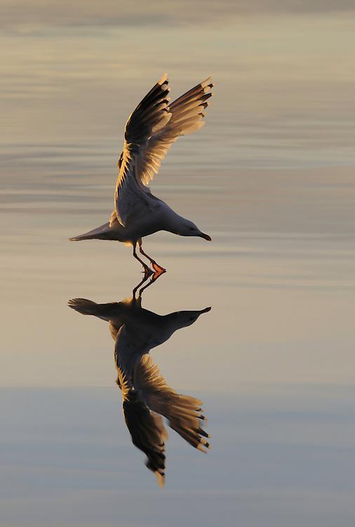 Herring Gull, Larus Argentatus., Flatanger, Nord-Trondelag, Norway