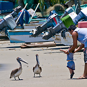 Father and son playing with pelicans on the beach at Zihuatanejo, Mexico