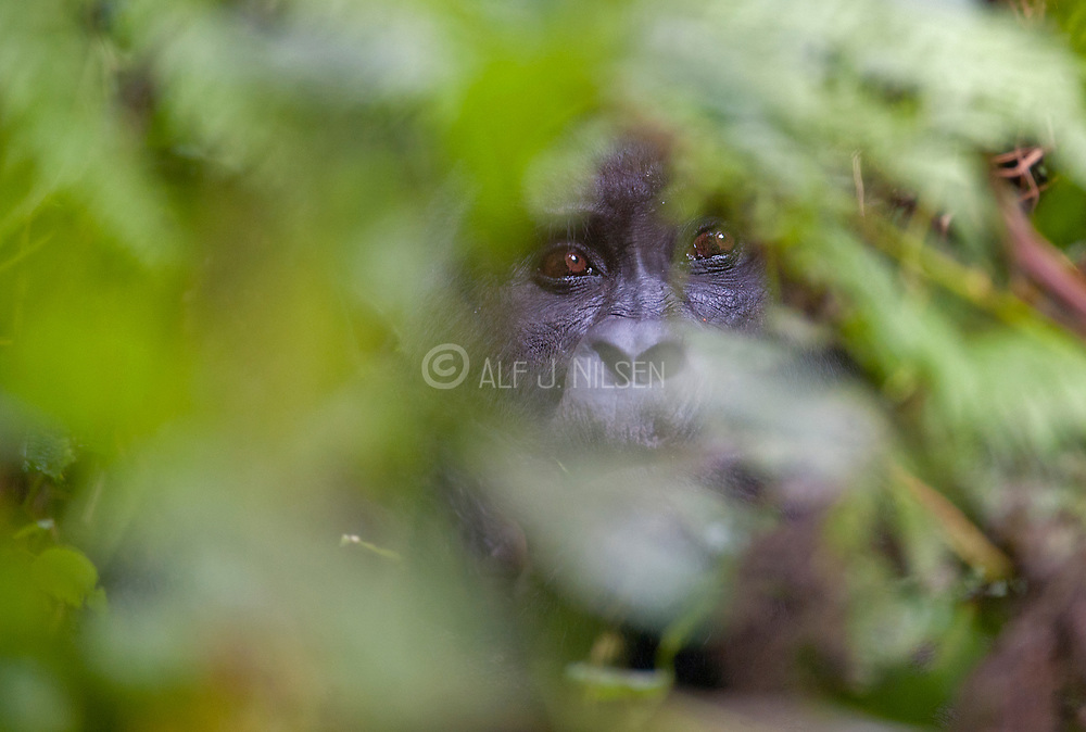 Mountain Gorilla (Gorilla berengei berengei) hiding in the dense forest of Bwindi Impenetrable National Park, Uganda.