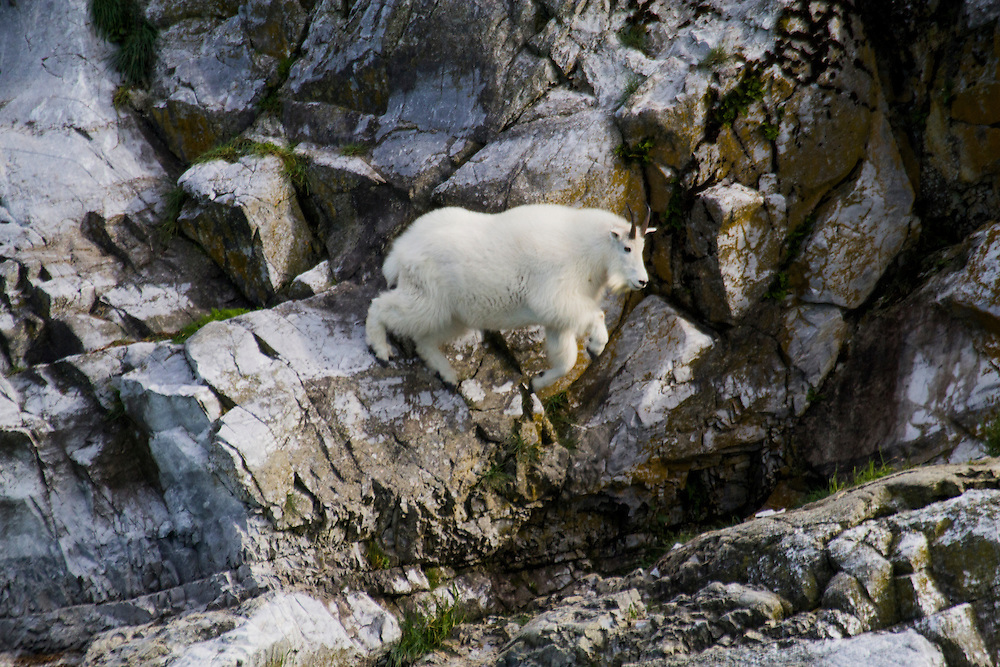 A mountain goat takes a giant leap across a large gap in the bedrock in Glacier Bay.