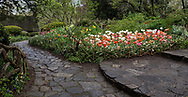 Tulips in Shakespeare Garden in Central Park.