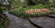 Tulips in Shakespeare Garden in Central Park.