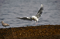 Glaucous-winged Gull (Larus glaucescens) landing, Orlebar Point, Gabriola Island , British Columbia, Canada   Photo: Peter Llewellyn