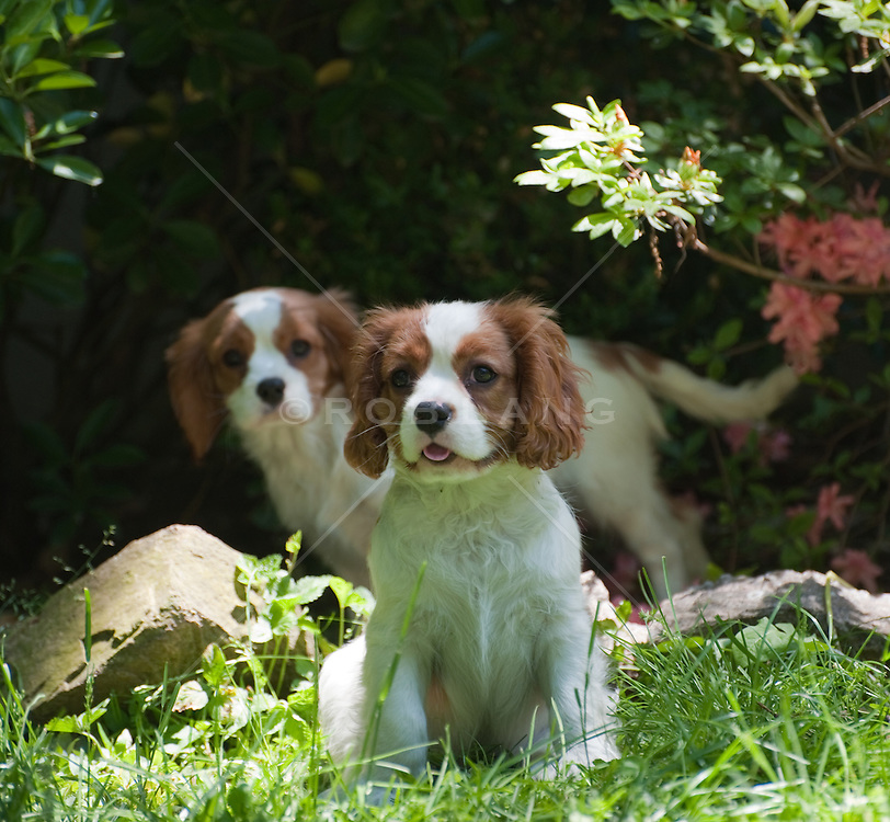 King Charles Spaniel puppies outdoors
