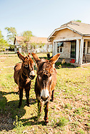 Burros, Donkeys, Albert, Oklahoma, PROPERTY RELEASED