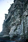 Noup of Noss gannet colony cliffs, Noss, Shetland Islands, Scotland