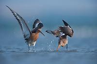 Black tailed godwits (Limosa Limosa) on the lake Belau in Moldova