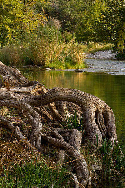 Tree roots exposed along the banks of the Frio River in the Texas Hill Country