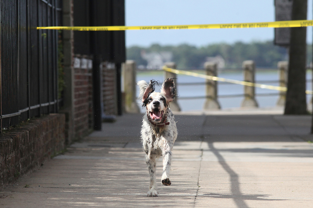 A wet dog that had been swimming Monday, July 8, 2013, in Charleston Harbor manages to scamper through a scene where the Charleston Police Department said authorities were testing a suspicious package containing white powder at the Historic Charleston Foundation on East Bay Street. The tests revealed that the envelope contained baking soda. (ANDREW KNAPP/STAFF)