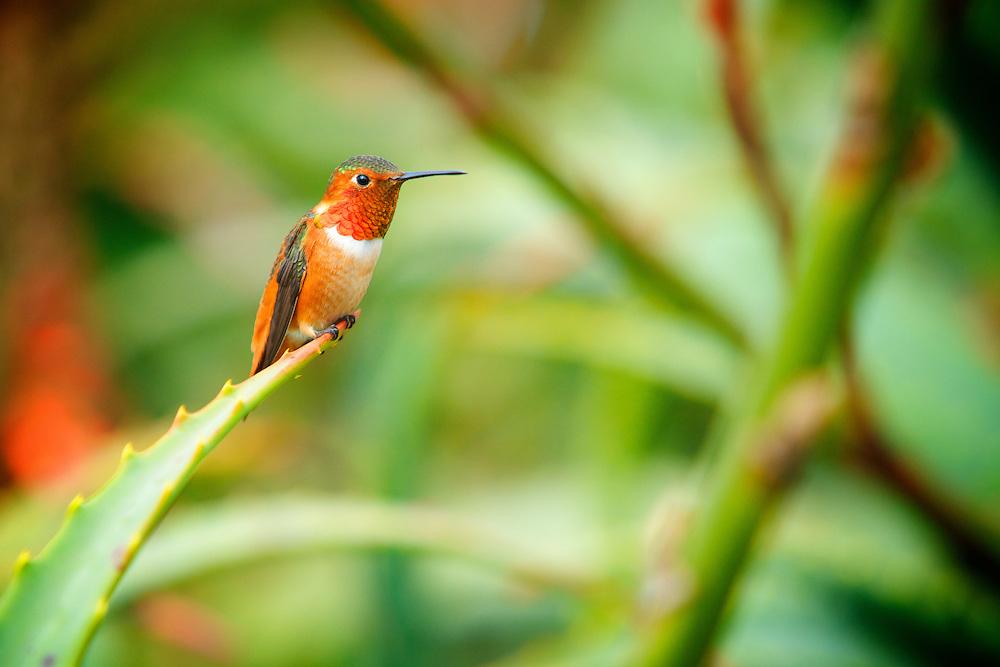 Male Allen's Hummingbird (selasphorus sasin) in Laguna Beach, CA.