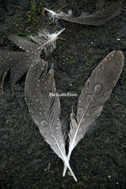 Raindrops accumulate on feathers at the Washington Park Arboretum. (Erika Schultz / The Seattle Times)