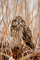 Winter January 2017 this Short Eared Owl rests on cattail's at the Bear River Bird Refuge in northern Utah.