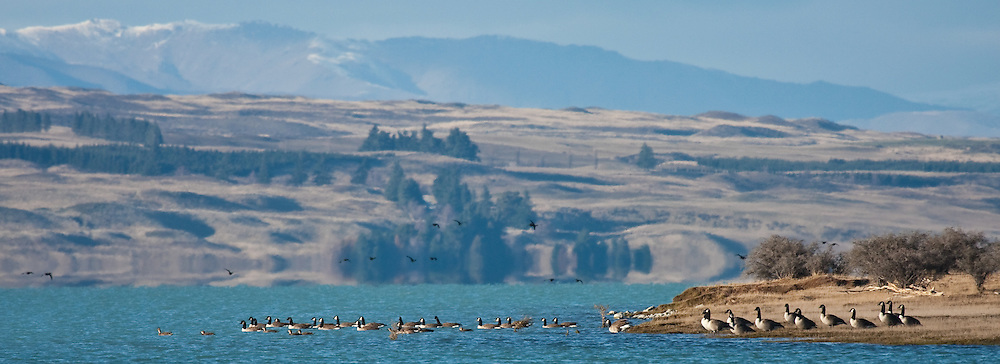 Canadian Geese entering Lake Pukaki, New Zealand (12x33 inch print)