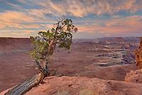Weathered and twisted Juniper tree (Juniperus osteosperma) at dawn on rim Green River Overlook, Canyonlands National Park Utah