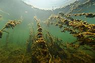 Unterwasserszenen mit Wasserpflanzen im Pantanal, Brasilien<br /> <br /> Underwater scenes with plants in the Pantanal, Brazil