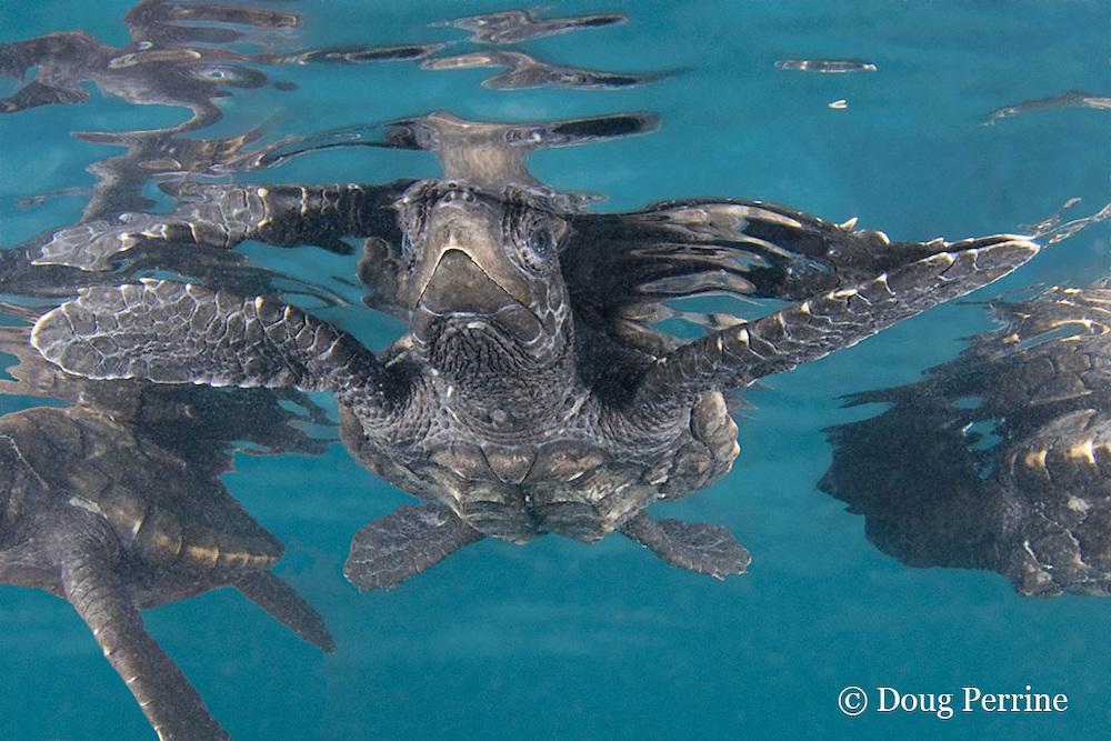 hawksbill sea turtle hatchling, Eretmochelys imbricata (c), Endangered Species, Caribbean