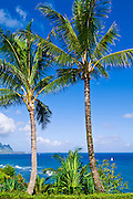 Coconut palms above Hanalei Bay and the Na Pali Coast, Island of Kauai, Hawaii