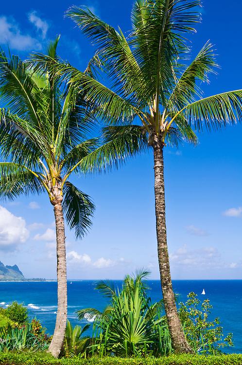 Coconut palms above Hanalei Bay and the Na Pali Coast, Island of Kauai, Hawaii