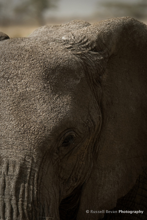 An Elephant gets too close in the Serengeti National Park, Tanzania