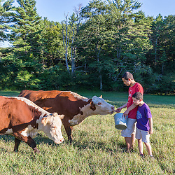 Two boys feed apples to their cows in a field in Kittery, Maine.
