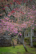 One of a series of cherry trees in one of the gardens of Okunoin Cemetery.