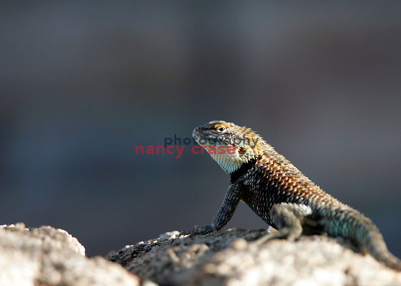 A desert spiny lizard (Sceloporus magister) suns itself in the early morning.