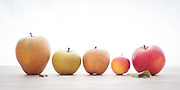 A variety of Heirloom Apples photographed from Wandering Aengus Cidery in Salem, Oregon.