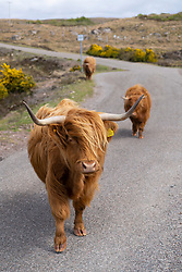 Highland cattle on road on the Applecross peninsula on the North Coast 500 tourist motoring route in northern Scotland, UK