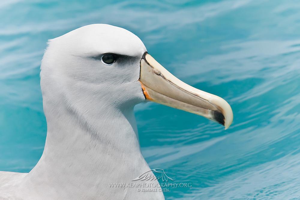 Salvin's Albatross, Kaikoura, New Zealand
