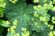 Alchemilla vulgaris and Alchemilla xanthochlora, Dewcup, Hairy Mantle, Lion&rsquo;s Foot, Bear&rsquo;s Foot, Nine Hooks, Leontopodium, and Stellaria. - - - <br /> <br /> - from Wikipedia