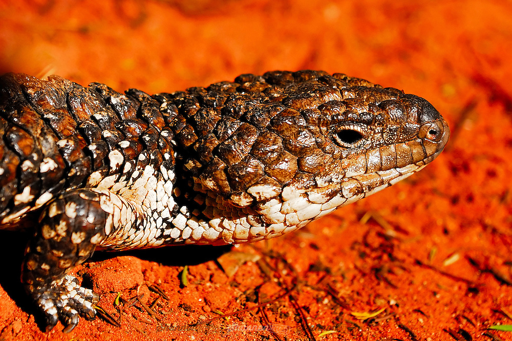 The Shingleback Lizard (Tiliqua rugosa) is a species of blue-tongued skink endemic to Australia. It has a heavily armored body ranging in colour from dark brown to cream.