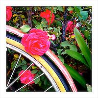 Old Bike, New Rose. San Francisco, CA. 4/24/09 (iPhone image)