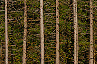 Western Red Cedar ( parallel tree trunks at the edge of a forest clear cut in the Washington state Department of Natural Resources Green Mountain State Forest on the Kitsap Peninsula in Puget Sound, Washington, USA
