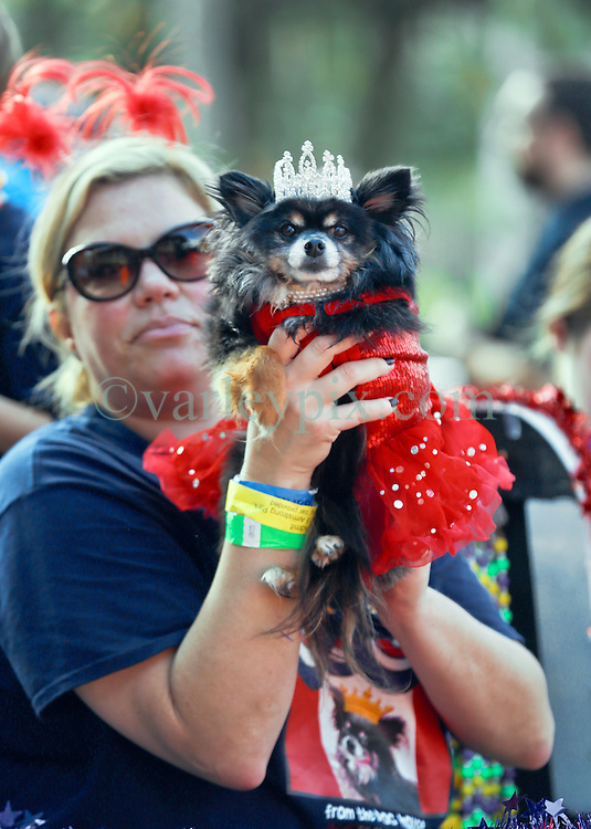 31 January 2016. New Orleans, Louisiana.<br /> Mardi Gras Dog Parade. Queen of the parade, Queen Nee Nee Sprang is held aloft for her fans. The Mystic Krewe of Barkus winds its way around the French Quarter with dogs and their owners dressed up for this year's theme, 'From the Doghouse to the Whitehouse.' <br /> Photo©; Charlie Varley/varleypix.com
