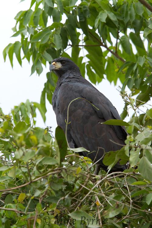 Great Black Hawk (Buteogallus urubitinga) perched in a tree near Araras Eco Lodge (Pantanal, Mato Grosso, Brazil)