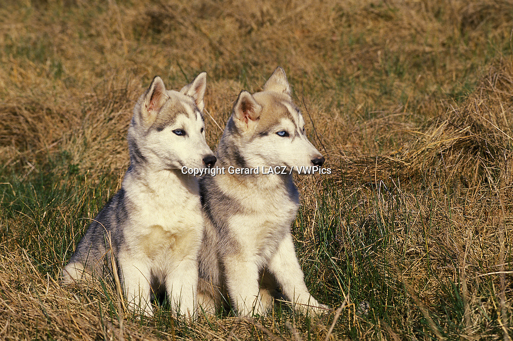 Siberian Husky, Puppies sitting on Grass