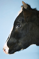 Cow against blue background close-up of head side view