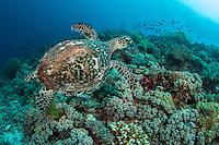 Hawksbill Turtle, in flight mode.