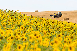 © Licensed to London News Pictures. 08/08/2020. CHORLEYWOOD, UK. A farmer in a tractor collects bales of wheat next to sunflowers growing in a wheat field near Chorleywood, Hertfordshire on a hot day where the temperature is expected to peak at 34C.  The forecast is for temperatures to continue to exceed 30C for the next few days.  Photo credit: Stephen Chung/LNP